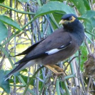 Common Myna - not yet established in Europe but a potential risk